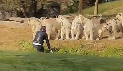 The moment a tourist confronts 11 tigers at Chinese wildlife park