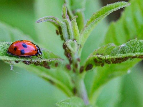 Umweltfreundliche Tipps und Tricks: Blattläuse bekämpfen: Diese natürlichen Mittel helfen