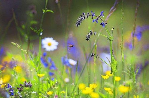 Wiesen im Remstal: Insekten mögen hohe Halme