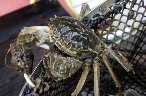 Weil am Rhein: Zollbeamte stoppen Einfuhr einer invasiven Krabbenart