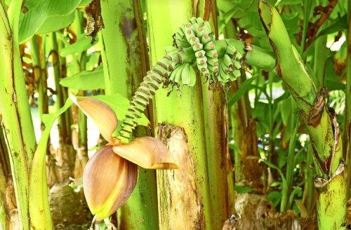 Hingucker in Plieningen: Mini-Bananen aus dem eigenen Garten