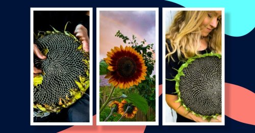 A guide for growing sunflowers successfully at home (and how to eat them)