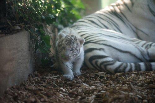 Un bébé tigre blanc de 2 mois meurt accidentellement en mangeant