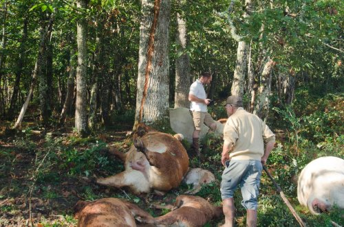 Un troupeau mortellement foudroyé en Dordogne : « Je n'ai jamais vu ça en soixante ans »