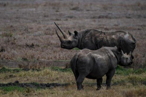 Afrique du Sud : encore plus de rhinocéros tués en 2021