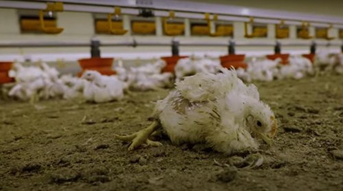L214 publie une vidéo dénonçant « la génétique de la souffrance » dans un élevage de poulet du groupe LDC