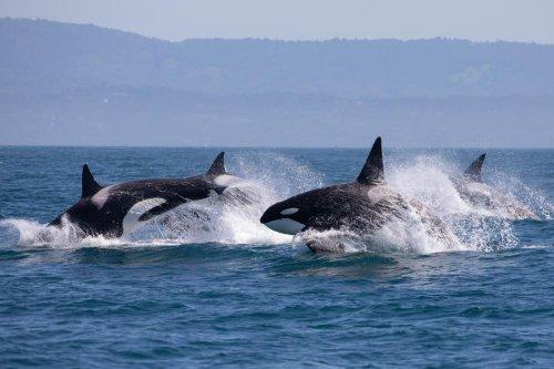 Charente-Maritime : une orque jouant avec un voilier, pourquoi ce phénomène pourrait se multiplier