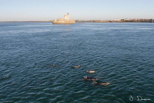 Rare en Charente-Maritime : plus de 30 dauphins font le spectacle à fort Louvois