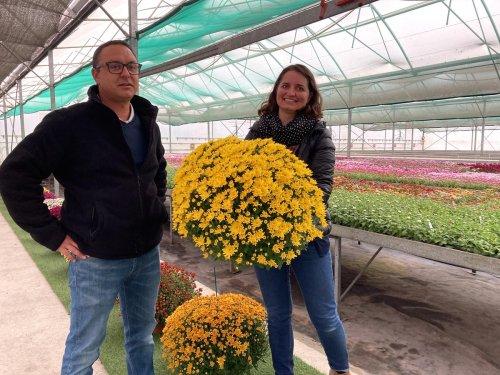 Dordogne : l'entreprise familiale qui vend des chrysanthèmes partout dans le monde