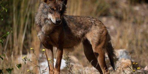 Loire-Atlantique : découvert d'un cadavre de loup, une première depuis un siècle