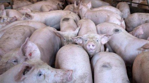 Agrar - München:Schweinehaltung: Bayern wettert gegen Berliner Senat