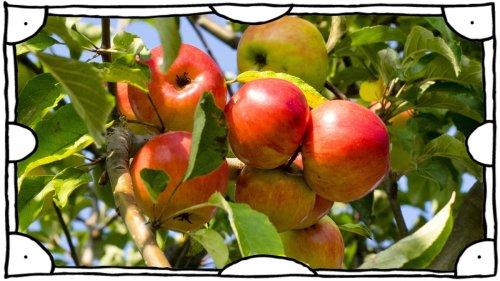 "SZ-Kolumne ""Bester Dinge"":Äpfel für alle!"