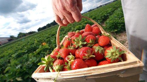 Freizeit:Wo man in München selber Erdbeeren pflücken kann