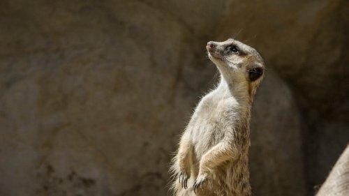 Tierpark Hellabrunn:Hellabrunner Erdmännchen sterben bei Höhleneinsturz