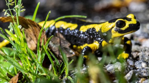Naturschutz:Ein Pilz bedroht den Feuersalamander