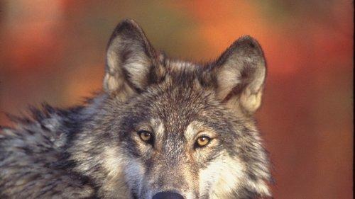 Vortrag über Wölfe