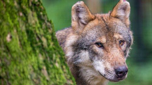 Herdenschutz:Kaniber will Abschuss von Wölfen erleichtern