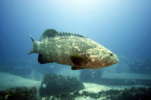 A beloved fish may get the hook, as Florida gives initial approval to proposal for killing goliath grouper