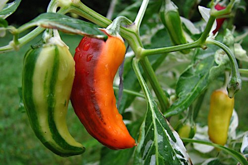 5 Vegetables Every Gardener Should Plant Right Now - Sunset Magazine