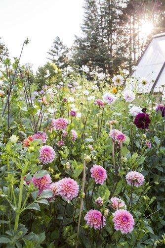 Behind the Scenes: Cut Flower Garden