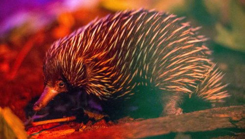 What the actual… now we know why an echidna's, uh, appendage has four heads