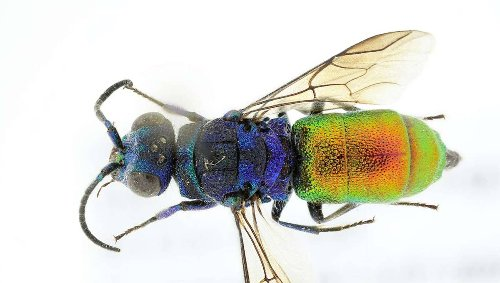 Murder hornets are so 2020! Behold this vivid new species of Norwegian Cuckoo Wasp