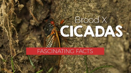 Brood X cicadas: Fascinating facts and why they aren't in Central NY this year