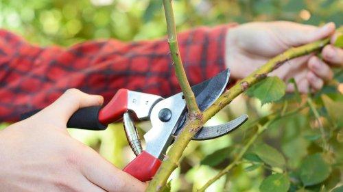 Rosen schneiden im Herbst: Sinnvoll oder nicht? Das sagt der Pflanzenarzt