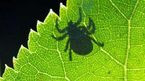 Krankheitsüberträger: Vorsicht vor Zecken bei coronakonformen Treffen draußen