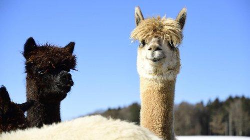 Freilaufende Huskys attackieren Alpakas