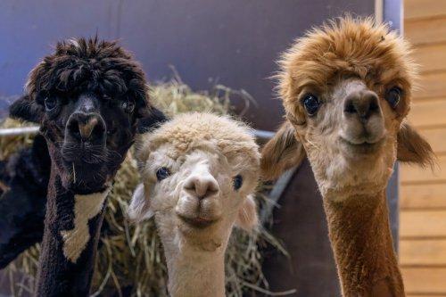 Nanobodies aus Alpakas können Corona-Virus stoppen
