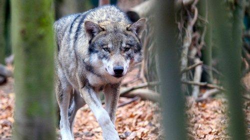 Hundewohl vor Wolfsschutz
