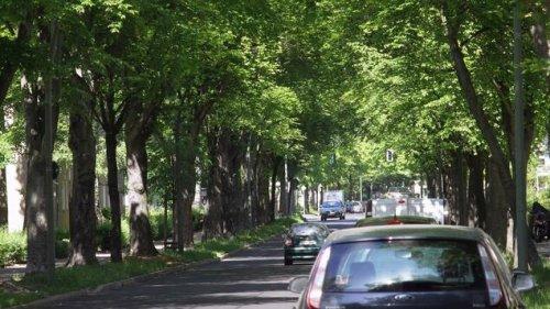 Berlin verliert seine Straßenbäume