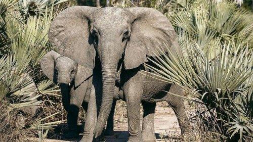 Immer mehr Elefanten werden ohne Stoßzähne geboren