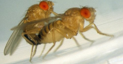 Fruit flies have more sex when predatory wasps come around