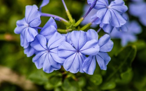 12 Beautiful Blue Flowers for Every Garden