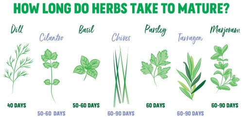 This Charts Shows How Long It Takes for Herbs to Mature