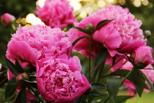 """People Can't Get Enough of Color-Changing """"Command Performance"""" Peonies, aka """"Gobstoppers"""""""