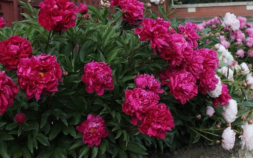 9 Little-Known Tips for Growing Plentiful Peonies in Your Garden
