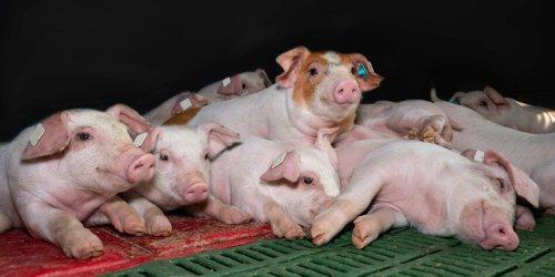 Kein Antibiotikaverbot für Tiere