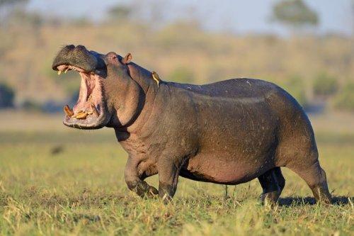 Hipopótamos. Los animales mas peligrosos de la transformación digital   Techcetera