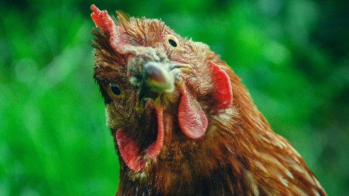 CDC investigating multistate salmonella outbreaks tied to backyard chickens