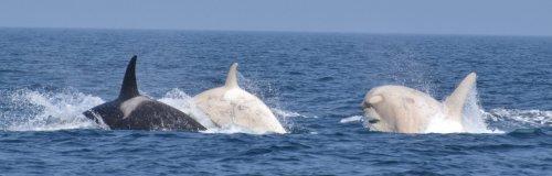 Observadores de ballenas ubican par de orcas albinas en Japón