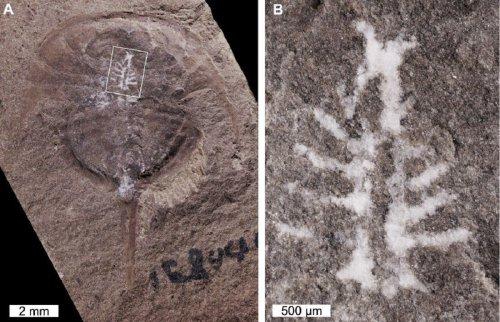¿Cómo se pudo mantener este cerebro fosilizado por 310 millones de años?