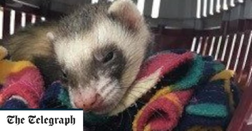 Ferret makes 'miraculous' recovery after going through full wash cycle