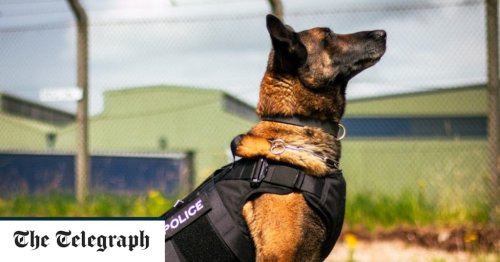Police dogs putting the bite on criminals to be given bulletproof vests
