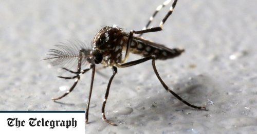 Why Florida is releasing genetically modified mosquitoes