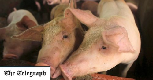 Chinese scientists warn of new variants of deadly African swine fever