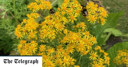 Give weeds a chance - how ragwort and other garden misfits could transform your flower beds