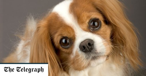 Heart drug can extend dogs' lives, but careful breeding would extend them even more